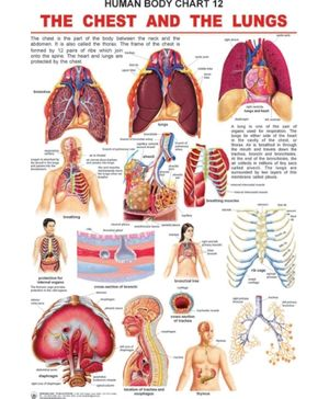 The Chest And The Lungs