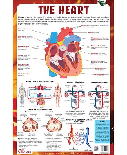 Heart Laminated Primary Chart - English