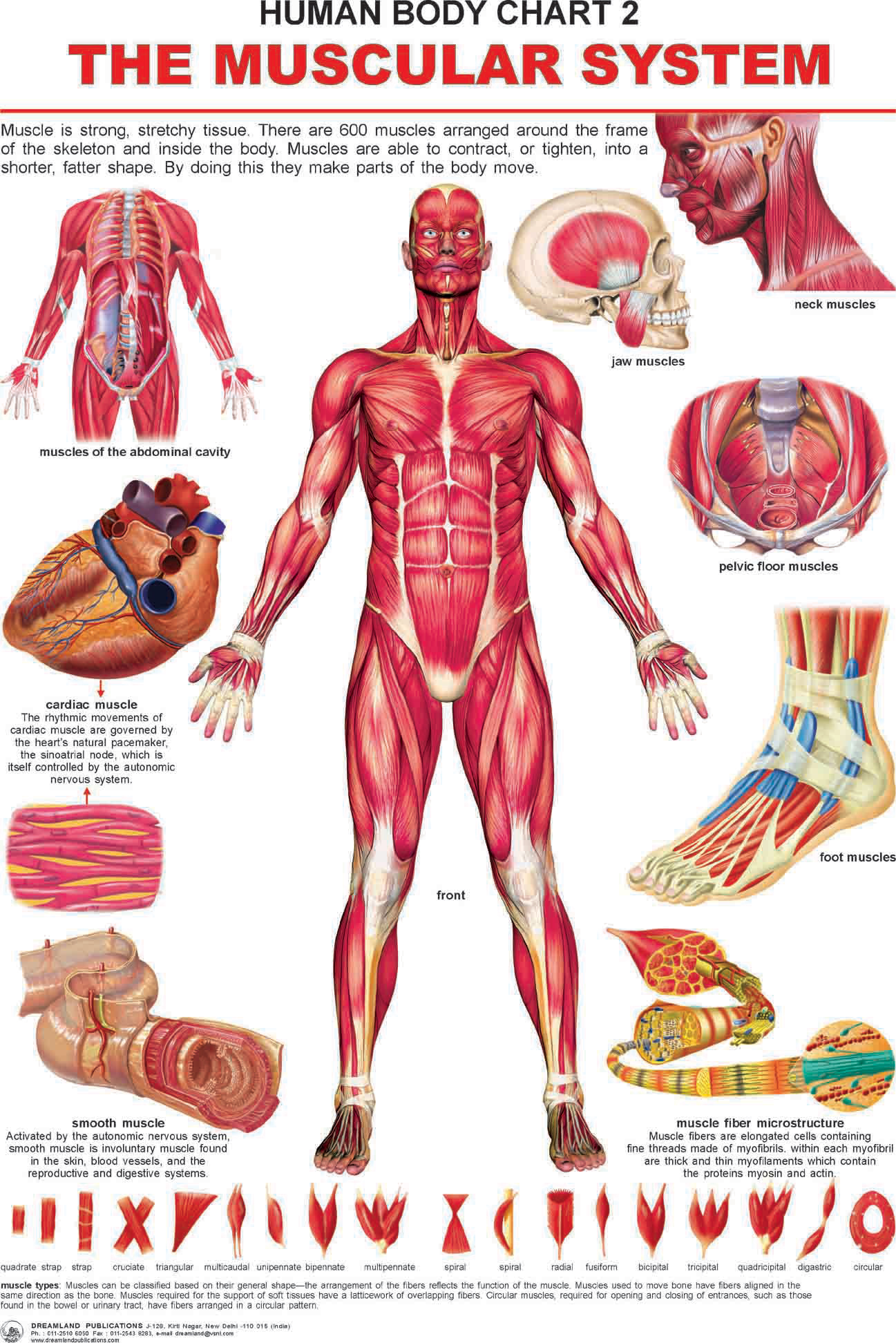 The Muscular System Online In India Buy At Best Price From Firstcry