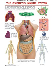 The Lymphatic/Immune System